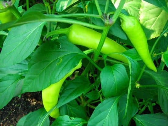 Banana-Peppers-plant