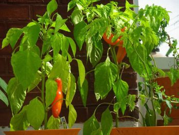 Banana-Peppers-plants