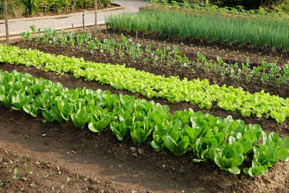 Best Fertilizer For Your Vegetable