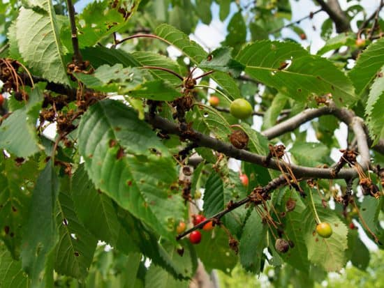 Branch of cherry affected with brown rot