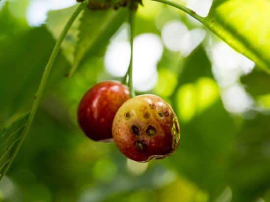 Cherry tree disease