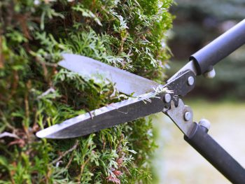 Cutting the hedge with garden shears