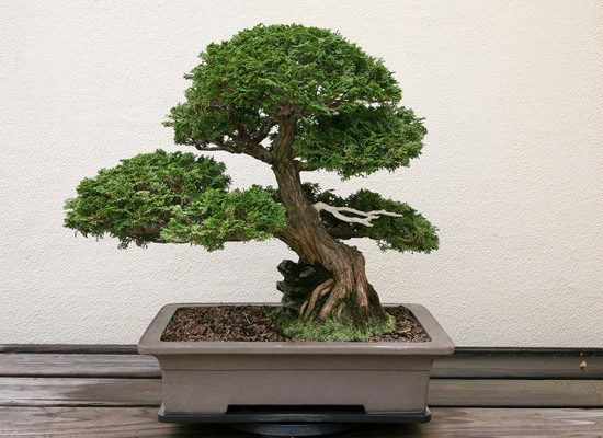 Dwarf Hinoki False Cypress Tree