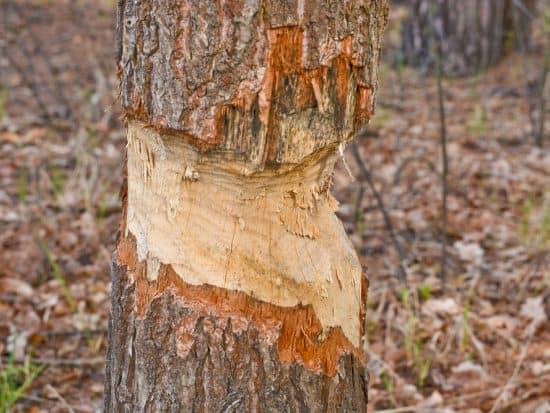 Kill a Pine Tree