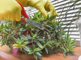 Prune Plant