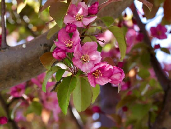 pink ornamental crabapple tree