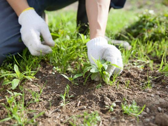pulling weeds by hand