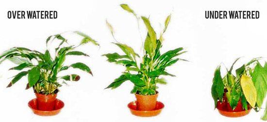 underwatering-overwatering-plants