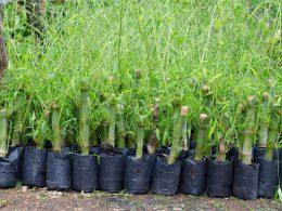 Bamboo small Trees