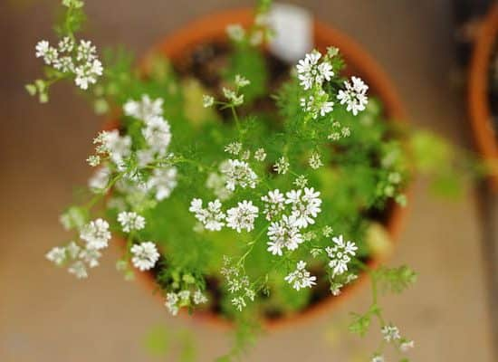 Beauty Cilantro