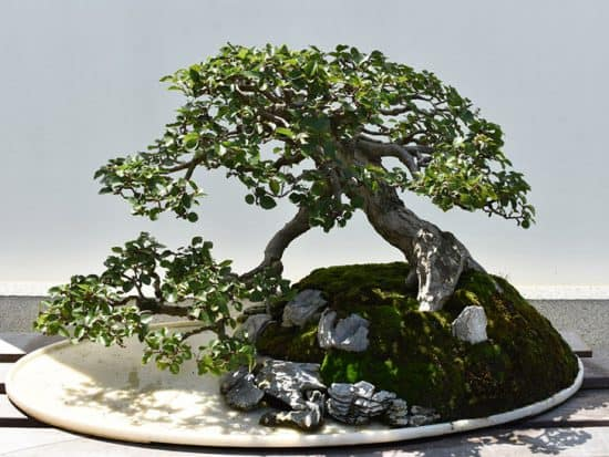 Bonsai Crape Myrtle