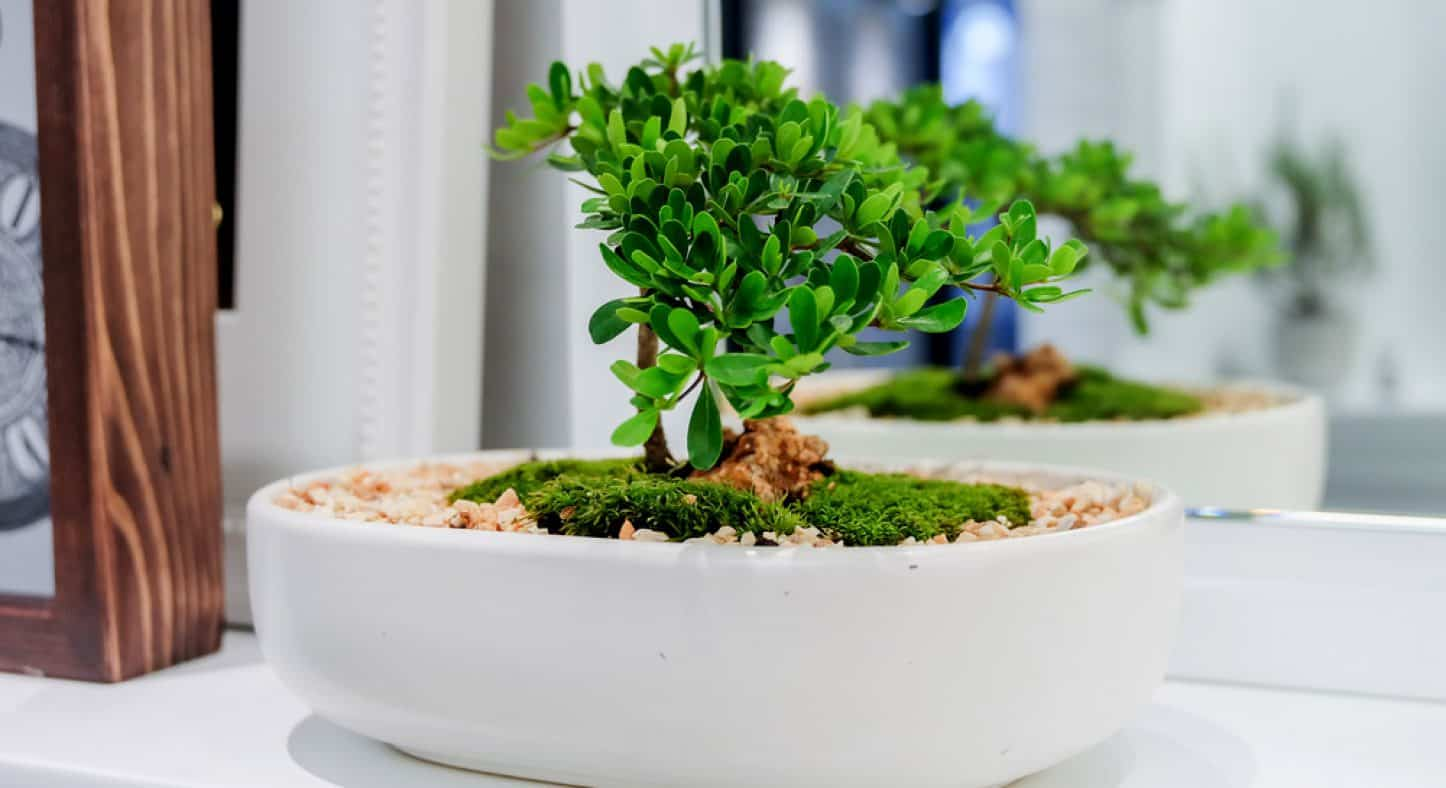 Top 20 Best Bonsai Trees: All You Need to Know! – Shary Cherry