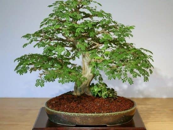 Brazilian Rain bonsai