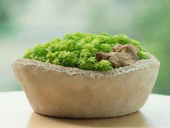 Clay pot stone crop golden moss sedum succulent plant