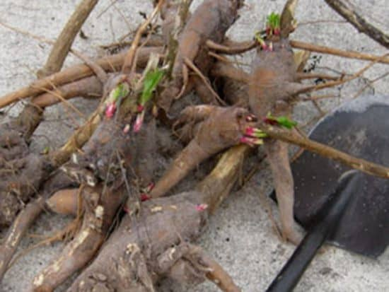 Dry Out Pokeweed Roots