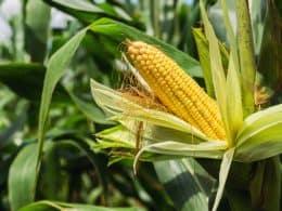 Ears of Corn on a Stalk