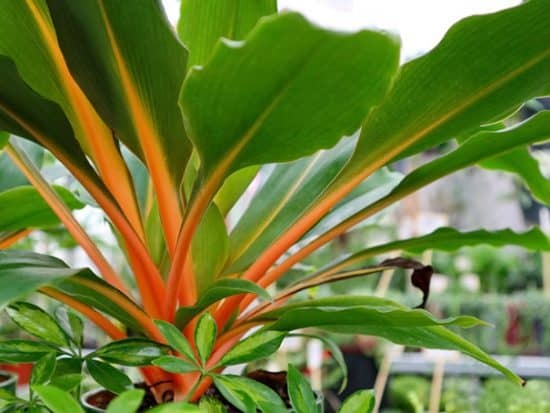 Fireflash Spider Plant