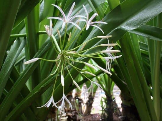Hawaiian spider lily