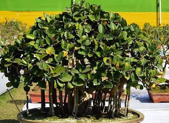 Indian Banyan bonsai