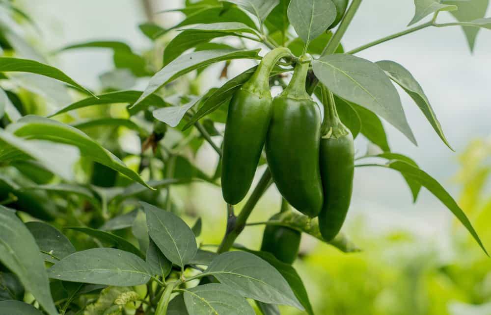 Jalapenos Plant