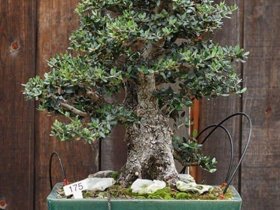 Olive bonsai