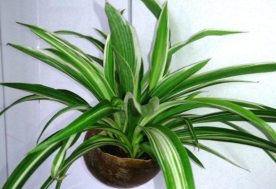 Picturatum Spider Plant