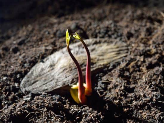 Plant a Mango Seed