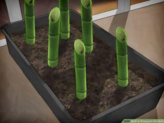 Plant bamboo