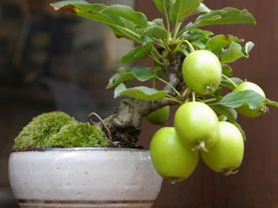 guava bonsai