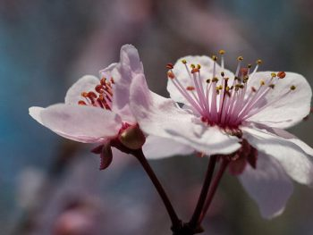 plum trees blooming